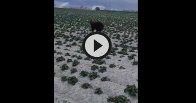 [VIDEO] Spettacolare orso marsicano a spasso per la Piana del Fucino – Meteo Abruzzo